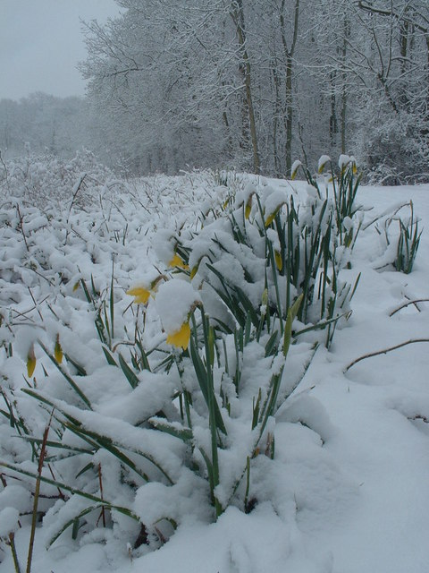 Daffodils_on_Easter_Sunday_in_Jenny_Wood_-_geograph.org.uk_-_767075
