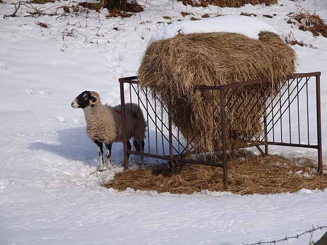 Snow-covered_hay-rick_and_forlorn_sheep_-_geograph.org.uk_-_1160991